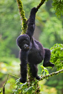 UGA1350 The 18 months old baby Mountain Gorilla Rotary of the Nshongi Group swings playfully in a tree in the Bwindi Impenetrable Forest of Southwest Uganda, Africa