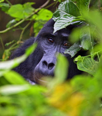 UGA1353 A Mountain Gorilla of the Nshongi Group conceals itself in the dense undergrowth of the Bwindi Impenetrable Forest of Southwest Uganda, Africa