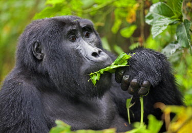 UGA1357 A Mountain Gorilla of the Nshongi Group feeds on leaves in the Bwindi Impenetrable Forest of Southwest Uganda, Africa