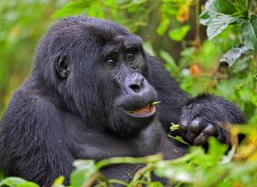 UGA1358 A Mountain Gorilla of the Nshongi Group feeds on leaves in the Bwindi Impenetrable Forest of Southwest Uganda, Africa