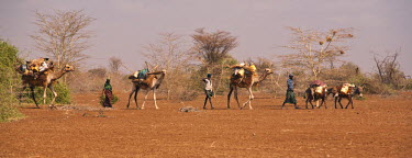 KEN7956AW Merti, Northern Kenya. A nomadic Somali family migrates to find new grazing in drought conditions.