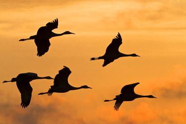 US28WSU0005 Sandhill cranes (Grus canadensis) flying at dawn, Platte river, Nebraska