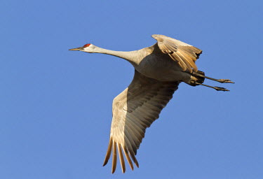 US28WSU0003 Sandhill crane (Grus canadensis), Platte river, Nebraska