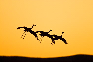 US32LDI0032 Sandhill Crane (Grus canadensis) landing at sunset , New Mexico