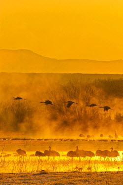 US32BJY0002 USA, New Mexico, Bosque del Apache National Wildlife Refuge. Sandhill cranes in sunrise fog