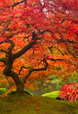 Japanese maple in fall color, Portland Japanese Garden, Oregon, USA
