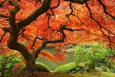 Japanese maple (Acer palmatum) in autumn color, Portland Japanese Garden, Oregon