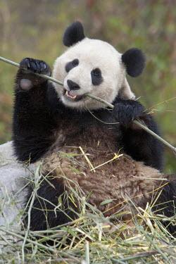 AS07AGA0009 Wolong Reserve, China, Giant panda eating bamboo