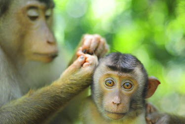 AS23AAS0098 Malaysia, Borneo, Sepilok, Southern Pig-tailed Macaque (Macaca nemestrina) adult female with baby, in primary rainforest lousing