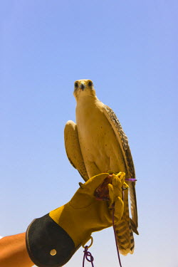 AS44KSU0030 Falcon perched on man's hand, Dubai, United Arab Emirates