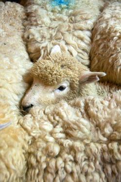 AU02LFO0012 New Zealand, North Island, near Wellington, sheep shearing of wool at The Wool Shed in Wairarapa