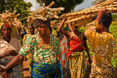 AR4441400008 Rutshuru, North Kivu, Democratic Republic Of Congo: Great Lakes Cassava Initiative (Glci) Beneficiaries Walk Away Carrying The Cassava Seed They Received Following A Dissemination In The Village Of Ki...