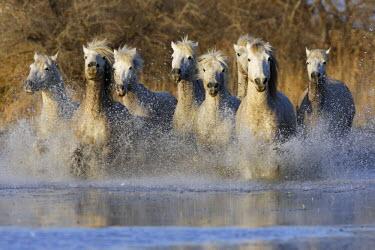 HMS524056 France, Bouches du Rhone, Parc Naturel Regional de Camargue (Natural Regional Park of Camargue), listed as a Reserve de Biosphere by UNESCO, Saintes Maries de la Mer, Camargue horse