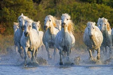 HMS683030 France, Bouches du Rhone, Parc Naturel Regional de Camargue (Natural Regional Park of Camargue), listed as a Reserve de Biosphere by UNESCO, Saintes Maries de la Mer, Camargue horse