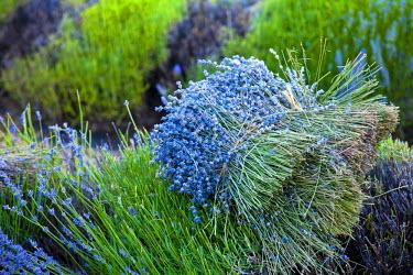 FRA7610 Blooming field of Lavender (Lavandula angustifolia) around Sault and Aurel, in the Chemin des Lavandes, Provence-Alpes-Cote d'Azur, Southern France, France