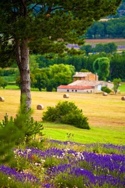 FRA7613 Blooming field of Lavender (Lavandula angustifolia) around Sault and Aurel, Provence-Alpes-Cote d'Azur, Southern France, France