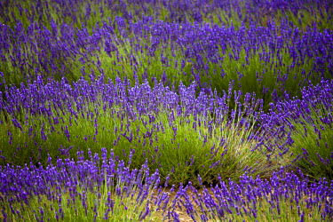 FRA7614 Blooming field of Lavender (Lavandula angustifolia) around Sault and Aurel, in the Chemin des Lavandes, Provence-Alpes-Cote d'Azur, Southern France