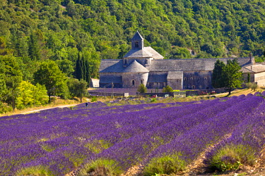 FRA7616 Blooming field of Lavender (Lavandula angustifolia) in front of Senanque Abbey, Gordes, Vaucluse, Provence-Alpes-Cote d'Azur, Southern France, France