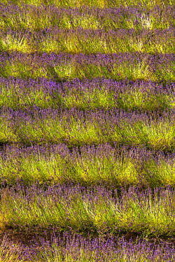 FRA7620 Blooming field of Lavender (Lavandula angustifolia), Vaucluse, Provence-Alpes-Cote d'Azur, Southern France, France, Europe, PublicGround