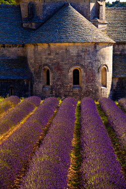 FRA7621 Blooming field of Lavender (Lavandula angustifolia) in front of Senanque Abbey, Gordes, Vaucluse, Provence-Alpes-Cote d'Azur, Southern France, France
