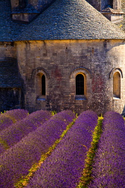 FRA7622 Blooming field of Lavender (Lavandula angustifolia) in front of Senanque Abbey, Gordes, Vaucluse, Provence-Alpes-Cote d'Azur, Southern France, France
