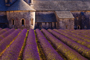 FRA7623 Blooming field of Lavender (Lavandula angustifolia) in front of Senanque Abbey, Gordes, Vaucluse, Provence-Alpes-Cote d'Azur, Southern France, France
