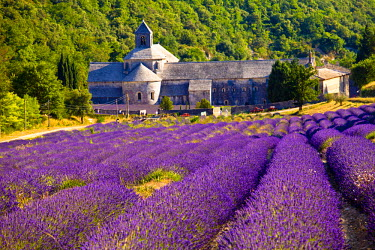 FRA7625 Blooming field of Lavender (Lavandula angustifolia) in front of Senanque Abbey, Gordes, Vaucluse, Provence-Alpes-Cote d'Azur, Southern France, France