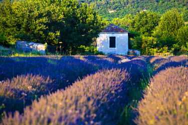 FRA7643 Blooming field of Lavender (Lavandula angustifolia), Vaucluse, Provence-Alpes-Cote d'Azur, Southern France, France, Europe, PublicGround