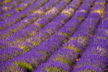 FRA7652 Blooming field of Lavender (Lavandula angustifolia), Vaucluse, Provence-Alpes-Cote d'Azur, Southern France, France