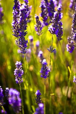 FRA7654 Blooming field of Lavender (Lavandula angustifolia) around Sault and Aurel, in the Chemin des Lavandes, Provence-Alpes-Cote d'Azur, Southern France, France