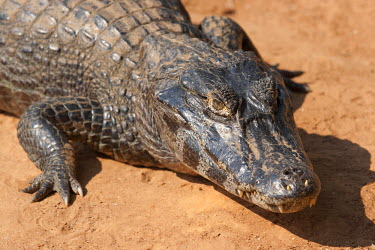 BRA0922AW South America, Brazil, Mato Grosso do Sul, Yacare Caiman in the Brazilian Pantanal