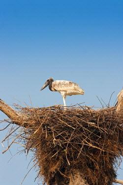 BRA0925AW South America, Brazil, Mato Grosso do Sul, a Jabiru storks chick
