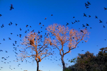 BRA0942AW South America, Brazil, Mato Grosso do Sul,  scores of Neotropic Cormorants flying away from a tree in the  Southern Pantanal Conservation Area