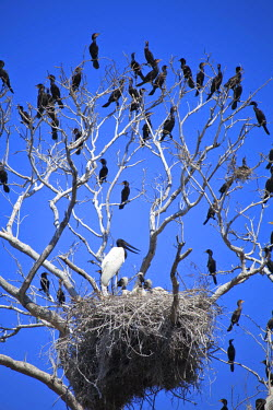 BRA0944AW South America, Brazil, Mato Grosso do Sul, a tree in the Pantanal with nesting Jabiru storks with chicks and scores of Neotropic Cormorants