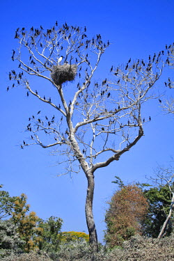 BRA0945AW South America, Brazil, Mato Grosso do Sul, a tree in the Pantanal with nesting Jabiru storks with chicks and scores of Neotropic Cormorants