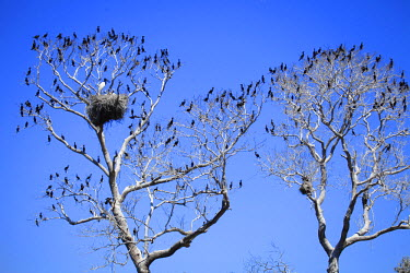 BRA0946AW South America, Brazil, Mato Grosso do Sul, a tree in the Pantanal with nesting Jabiru storks with chicks and scores of Neotropic Cormorants