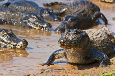 BRA0962AW South America, Brazil, Mato Grosso do Sul, Yacare Caimans in the Brazilian Pantanal