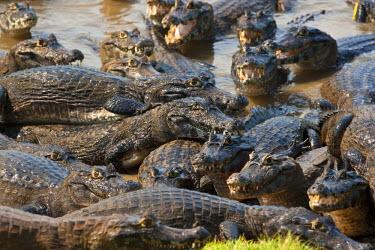BRA0964AW South America, Brazil, Mato Grosso do Sul, Yacare Caiman in the Brazilian Pantanal