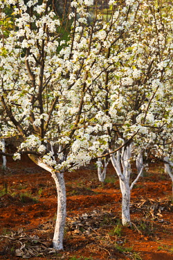 CH9816 China, Yunnan, Luoping. Pear trees in blossom.