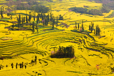 """CH9825 China, Yunnan, Luoping. Mustard fields at Niujie, known as the """"snail farms"""" due to the unique snail shell like terracing."""