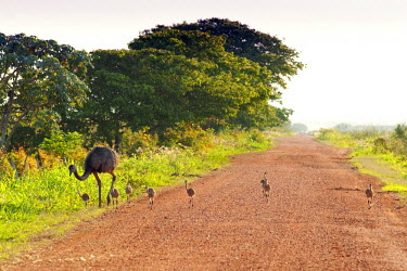 BRA1207AW South America, Brazil, Mato Grosso do Sul, A Greater Rhea with chicks walking along a dirt road in the Southern Pantanal