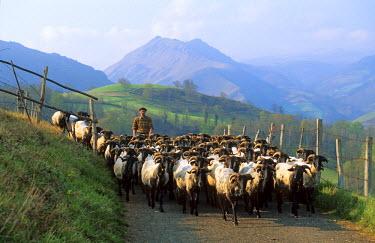 HMS038368 France, Pyrenees Atlantiques, Nive Valley around Saint Jean Pied de Port , shepherd with his sheep