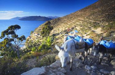 BOL8464AW Shepherd walking donkeys through village of Yumani on Isla del Sol (Island of the Sun), Lake Titicaca, Bolivia