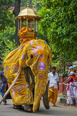 SRI1624 A mahout leads a caparisoned elephant to participate in the Kandy Day Perahera, which concludes ten days of pageant with a magnificent procession through the city�s streets, Sri Lanka