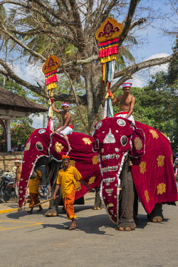 SRI1637 Standard bearers on caparisoned elephants participate in the Kandy Day Perahera, which concludes ten days of pageant with a magnificent procession through the city�s streets, Sri Lanka