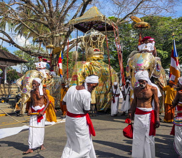 SRI1641 The caparisoned Maligawe tusker carries a replica of Lord Buddha�s tooth relic in a golden casket sheltered with a canopy while walking on white cloth during the Kandy Day Perahera, Sri Lanka