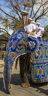 SRI1646 A caparisoned elephant and its riders participating in the Kandy Day Perahera, which concludes ten days of pageant with a magnificent procession through the city�s streets, Sri Lanka