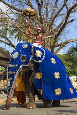 SRI1650 A caparisoned elephant and its rider participating in the Kandy Day Perahera, which concludes ten days of pageant with a magnificent procession through the city�s streets, Sri Lanka