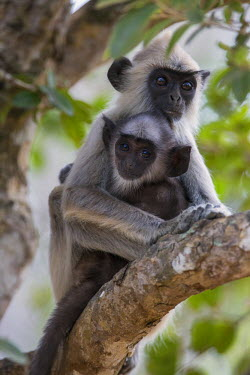 SRI1685 A Gray langur and young in Yala National Park.  This large park and the adjoining nature reserve of dry woodland is one of Sri Lanka�s most popular wildlife destinations.