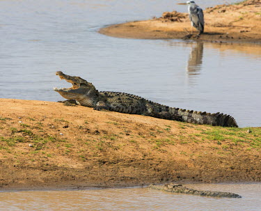 SRI1697 Marsh crocodiles in Yala National Park.  This large park and the adjoining nature reserve of dry woodland is one of Sri Lanka�s most popular wildlife destinations.